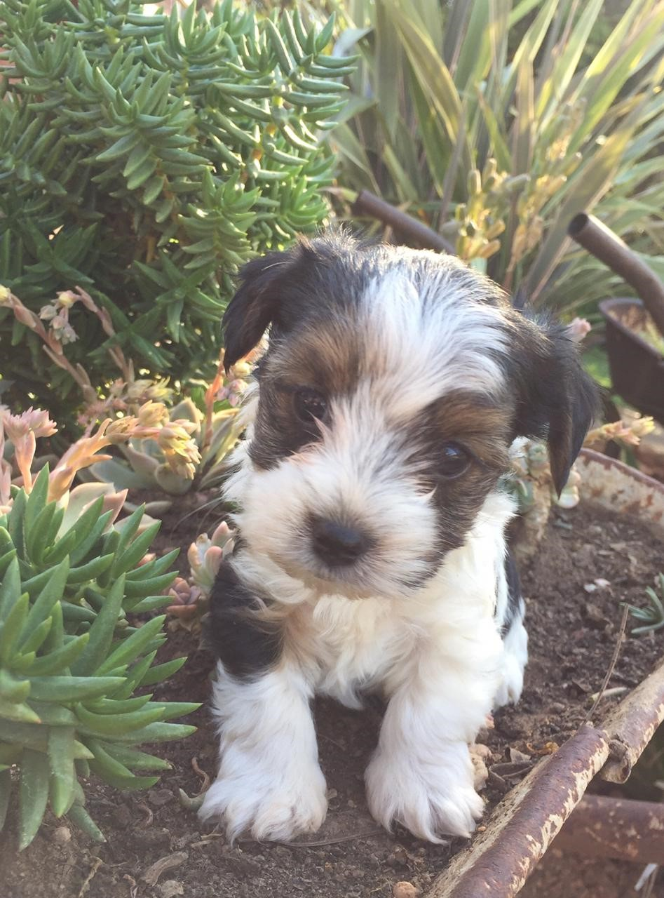 biewer-terrier-puppies-for-sale